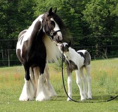 a gypsy vanner mare and her foal - the foal may appear to be a Greyish color, but he would soon shed his foal coat and become as Black as his mom.