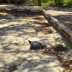 Near the Duck Boardwalk, a turtle is laying her eggs.  It is the season! #ducknc #duckpr