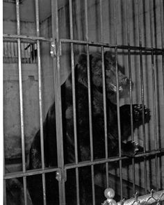 Woodland Park Zoo: The early years Old Photos, Vintage Photos, Female Gorilla, Western Lowland Gorilla, Woodland Park Zoo, Reptile House, Blind Girl, Ostriches, Pony Rides