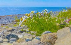 Wild on the Beach Visit Nova Scotia, My Roots, Landscape Prints, Beautiful Beaches, Plants, Plant, Planets