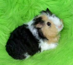 makes me miss my guinea pig. lol i need one for my apartment.