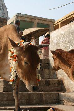 BiggerBang Photography - collectables, cow india, julie vold.jpg, via Flickr.