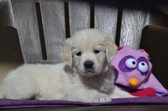 Little Golden Retriever puppy!  #puppy #puppies
