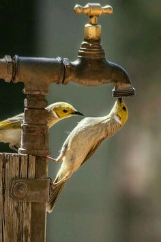 Yellow birds pictures nests beautiful of