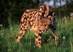 An extremely endangered king cheetah - Imgur
