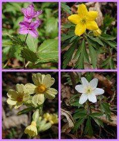 spring flowers :) Dentaria bulbifera Primula veris Anemone ranunculoides Anemone nemorosa