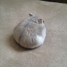 lace a la mode Hamster Pics, Baby Hamster, Cute Little Animals, Cute Funny Animals, Cute Cats, Fluffy Animals, Animals And Pets, Funny Hamsters, Robo Dwarf Hamsters