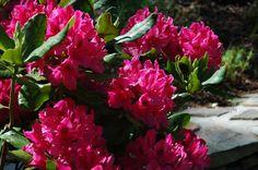 Rhododendron catawbiense 'Nova Zembla', Hybrid Rhododendron