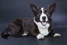 History of Breed: Origin and Ancestors Cardigan Welsh Corgis are one of the oldest herding breeds known, and are believed to have inhabited Wales for over 3,000 years. Corgis are descendants from the Teckel family of dogs which are closely related to the Dachshund. The Teckels were a group of hunting dogs that originated in …