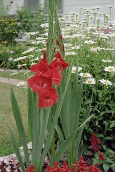 Gladiolus: How to Plant, Grow, and Care for Gladiolus REMEMBER IN SPRING:  to move the ones from the front bed and move to the back.