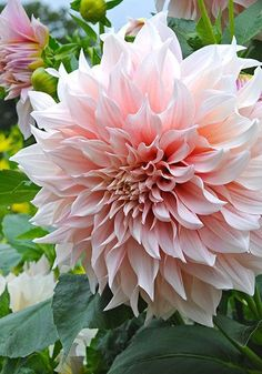 Dahlia Old House Gardens Heirloom Bulbs CAFE AU LAIT coloring creamy pink blush peach ivory champagne and dusty rose Youll get lots of big ruffled blooms. Flower Farm, My Flower, Dahlia Flowers, Sugar Flowers, Beautiful Flowers, Bloom, Gladioli, Chrysanthemums, Zinnias