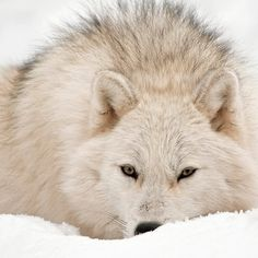 ARCTIC WOLF....aka the polar or white wolf...found in the Arctic Circle....measures 3 - 6 feet long including tail....weighs 100 - 155 pounds....has two layers of fur to protect it against the cold temperatures....inner layer works as a water proof barrier for the skin...outer layer works to keep in the heat