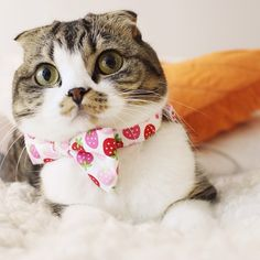 """mostlycatsmostly: """" I'm a strawberry shortcake, short and stout…that's how the song goes no? Sure is sweeter. Thanks for the fancy tie @shannonellisdesigns!🍓💕🍓 Follow macchacat """""""