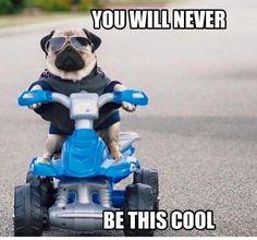 Pug on his bike