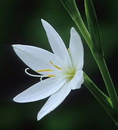 Buy Hesperantha coccinea f. alba from Sarah Raven: Pure-white autumn flowering rhizome with exceptional vase & garden life. Will even thrive in places with high rainfall. Brilliant in pots. Long Blooming Perennials, Hardy Perennials, Home Flowers, Fall Flowers, Lily Bulbs, Spring Bulbs, Flower Patch, Little Plants, Types Of Soil