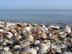Caspian sea Shells -