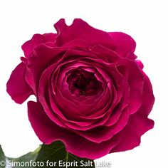 """Darcy"" hot pink rose"