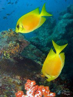 #Coral #yellow #Rabbitfish