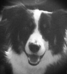 border collie valentine's day movie