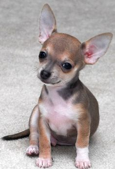 ~ Chocolate Sabled Fawn Chihuahua ~