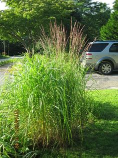 my various grasses