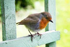 European Robin (Erithacus rubecula)a.k.a. English Robin