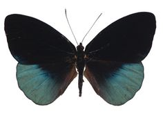 Eunica chrysochlora, Brush-footed Butterfly