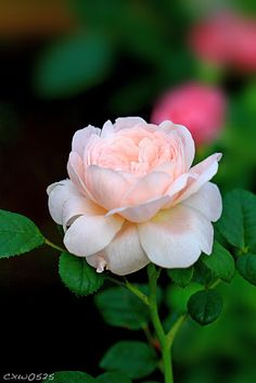 This is the most beautiful blush color rose. Blush Color, Blush Pink, Rose Queen, Flower Shower, Joy And Happiness, Flower Pictures, Beautiful Roses, Pink Roses, Pretty In Pink
