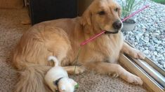 Kitten with Thumbs Found Love in Giant Dog Who Raised Him Into the Cuddliest Cat. - Love Meow