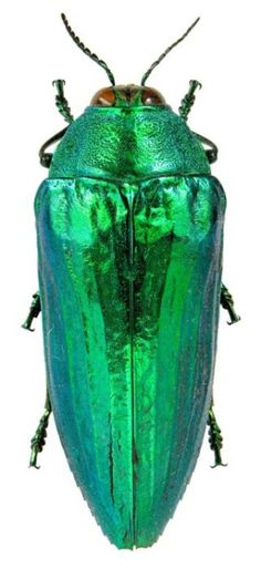 I've got earrings made out of beetles wings that look just like this