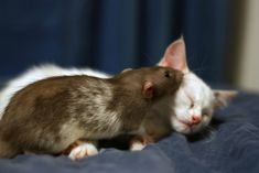Kitten And Rat Are Best Friends And Best Cuddlers