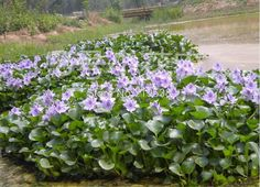 [Visit to Buy] water hyacinth seeds , and pot seeds, flower seeds ( mixed colors ) 50 seeds/pack #Advertisement