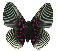 Pink Dotted Apollonia butterfly