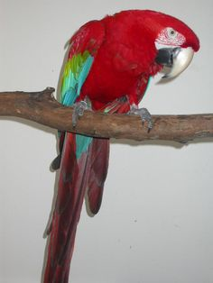 Macaw - Green Winged Exotic Birds, Parrots, Feathers, Wings, Paintings, American, Green, Animals, Toco Toucan