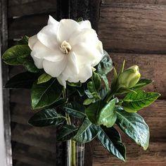 gardenia  #slimpaley