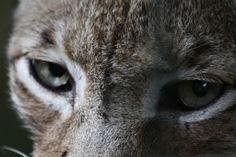 Lynx-  Zoo Karlsruhe,