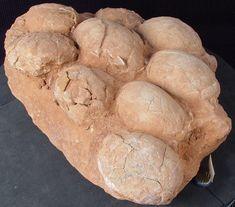 Ovos de dinossáurio (icnofósseis) - Encontrados até agora divergem muito no tamanho ( de 8 a 53cm ) e na forma (arredondada ou alongada). Estes ovos encontram-se em ninhos e em alguns casos, parecem ter sido cuidados pelos progenitores, como ocorre atualmente com as aves, pois já se encontram esqueletos de dinaussauros fossilizados em cima dos ovos.