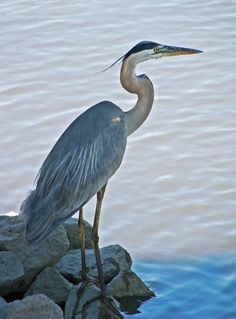 GREAT BLUE HERON--we have named one of these faithful friends, Big Bird :)