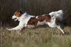Kooikerhondje- The best dog breed EVER.  So loyal, sweet, smart.  Wish they were more popular in the US!