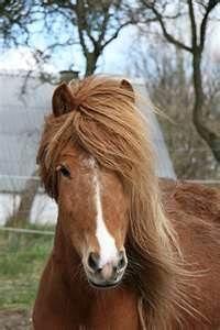 islandske heste billede - Bing Billeder