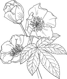 Click to see printable version of Cochlospermum Vitifolium or Buttercup Tree coloring page