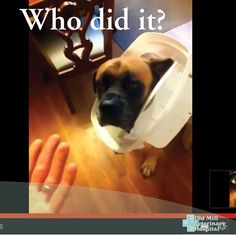 e1236836536da856c13ba29ac217093d english mastiffs funny shit seven special tips for taking care of english mastiff puppies