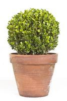 Photo about Boxwood (sempervirens) plant in a plant pot on white. Image of bush, leaf, interior - 26869683 Boxwood Plant, Boxwood Topiary, Potted Plants, Topiaries, English Flower Garden, Nature Images, Planter Pots, Leaves, Stock Photos