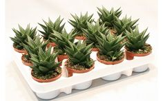 H.limifolia