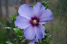 Hibiscus, Rose, Garden, Flowers, Pink, Roses, Garten, Lawn And Garden, Royal Icing Flowers