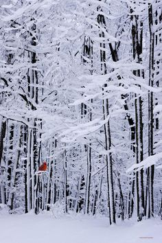 Red Bird amidst the snowy winter forest