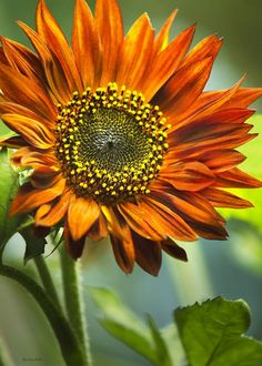 """Orange Sunflower Greeting Card for sale by Christina Rollo.  Our premium-stock greeting cards are 5"""" x 7"""" in size and can be personalized with a custom message on the inside of the card.  All cards are available for worldwide shipping and include a money-back guarantee."""