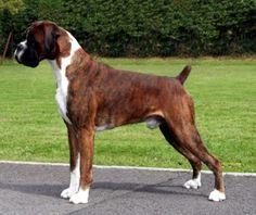 German Boxer Dogs | boxer origin of breed germany breed nick names german boxer deutscher ...
