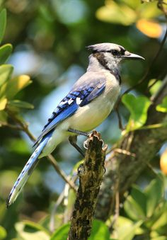 Profile Of A Blue Jay - Photograph at BetterPhoto.com