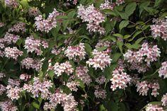 kolkwitzia amabilis beauty bush small pink flowers bark ex foliates roughly bristle fruit persists